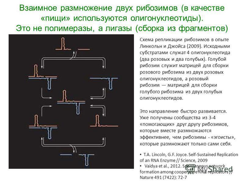 Взаимное размножение двух рибозимов (в качестве «пищи» используются олигонуклеотиды). Это не полимеразы, а лигазы (сборка из фрагментов) Схема репликации рибозимов в опыте Линкольн и Джойса (2009). Исходными субстратами служат 4 олигонуклеотида (два