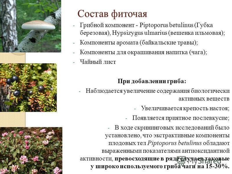 Состав фиточая - Грибной компонент - Piptoporus betulinus (Губка березовая), Hypsizygus ulmarius (вешенка ильмовая); - Компоненты аромата (байкальские травы); - Компоненты для окрашивания напитка (чага); - Чайный лист При добавлении гриба: - Наблюдае