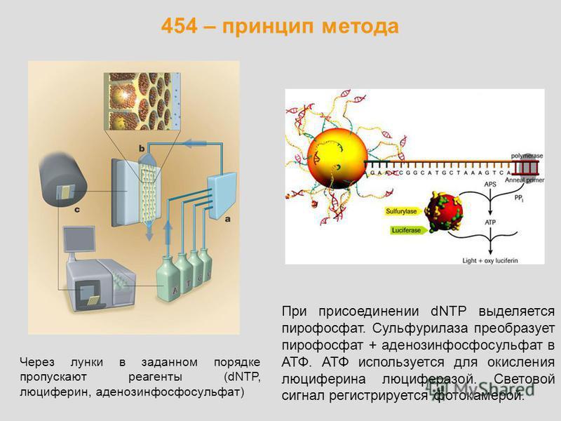 454 – принцип метода Через лунки в заданном порядке пропускают реагенты (dNTP, люциферин, аденозинфосфосульфат) При присоединении dNTP выделяется пирофосфат. Сульфурилаза преобразует пирофосфат + аденозинфосфосульфат в АТФ. АТФ используется для окисл
