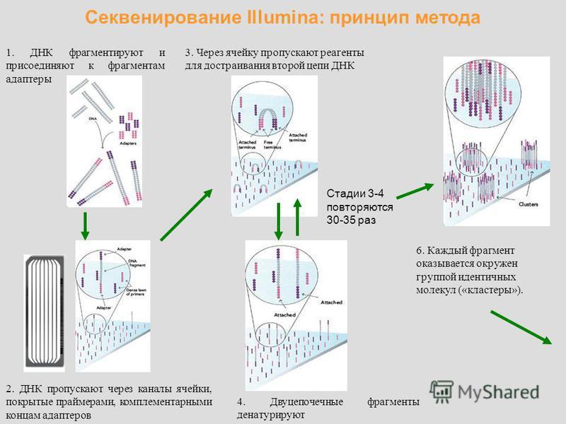 Секвенирование Illumina: принцип метода 1. ДНК фрагментируют и присоединяют к фрагментам адаптеры 2. ДНК пропускают через каналы ячейки, покрытые праймерами, комплементарными концам адаптеров 3. Через ячейку пропускают реагенты для достраивания второ