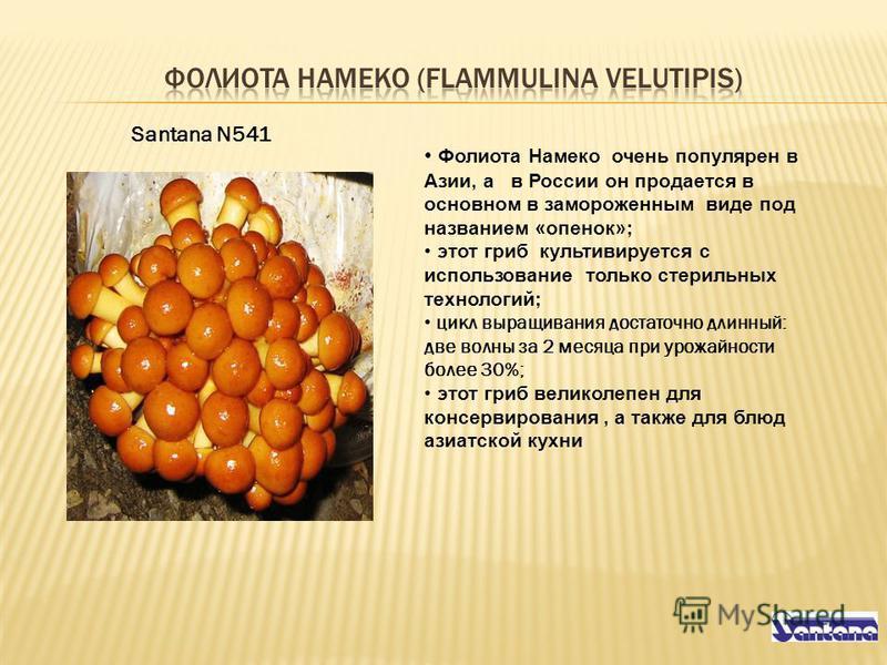 Фолиота Намеко очень популярен в Азии, а в России он продается в основном в замороженным виде под названием «опенок»; этот гриб культивируется с использование только стерильных технологий; цикл выращивания достаточно длинный: две волны за 2 месяца пр