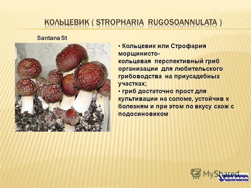 Santana St Кольцевик или Строфария морщинисто- кольцевая перспективный гриб организации для любительского грибоводства на приусадебных участках; гриб достаточно прост для культивации на соломе, устойчив к болезням и при этом по вкусу схож с подосинов
