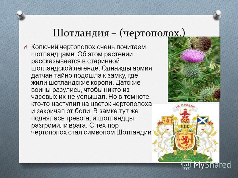 Шотландия – (чертополох.) O Колючий чертополох очень почитаем шотландцами. Об этом растении рассказывается в старинной шотландской легенде. Однажды армия датчан тайно подошла к замку, где жили шотландские короли. Датские воины разулись, чтобы никто и