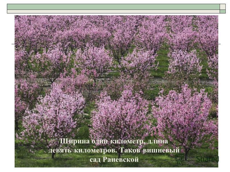 Ширина один километр, длина девять километров. Таков вишневый сад Раневской