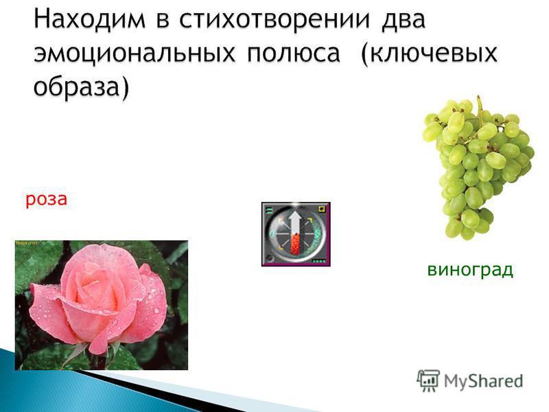 роза виноград