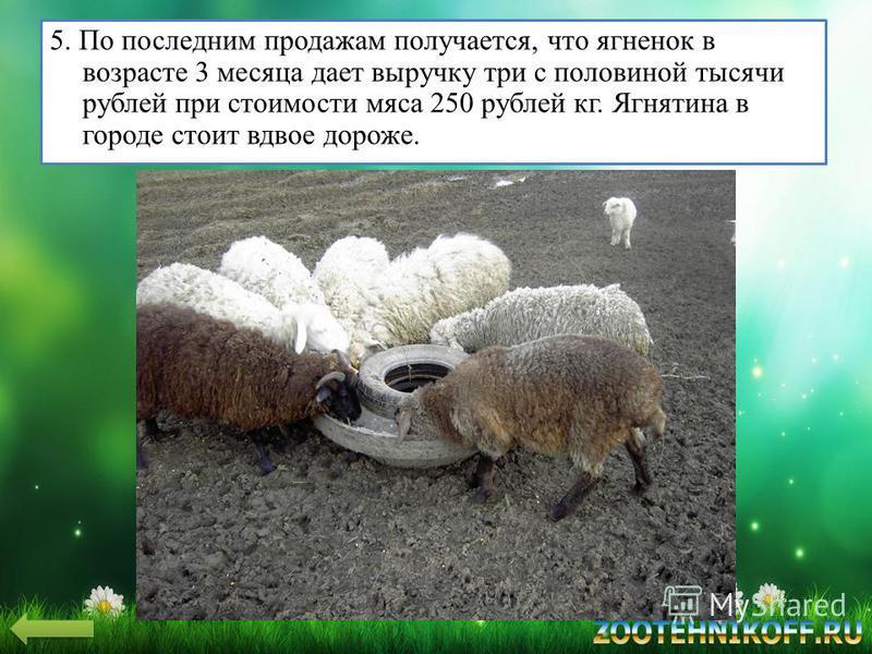 5. По последним продажам получается, что ягненок в возрасте 3 месяца дает выручку три с половиной тысячи рублей при стоимости мяса 250 рублей кг. Ягнятина в городе стоит вдвое дороже.