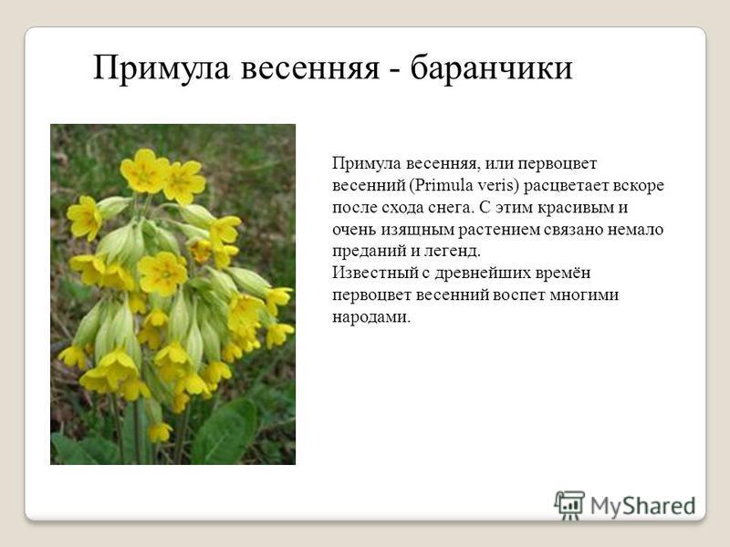 Примула весенняя - баранчики Примула весенняя, или первоцвет весенний (Primula veris) расцветает вскоре после схода снега. С этим красивым и очень изящным растением связано немало преданий и легенд. Известный с древнейших времён первоцвет весенний во