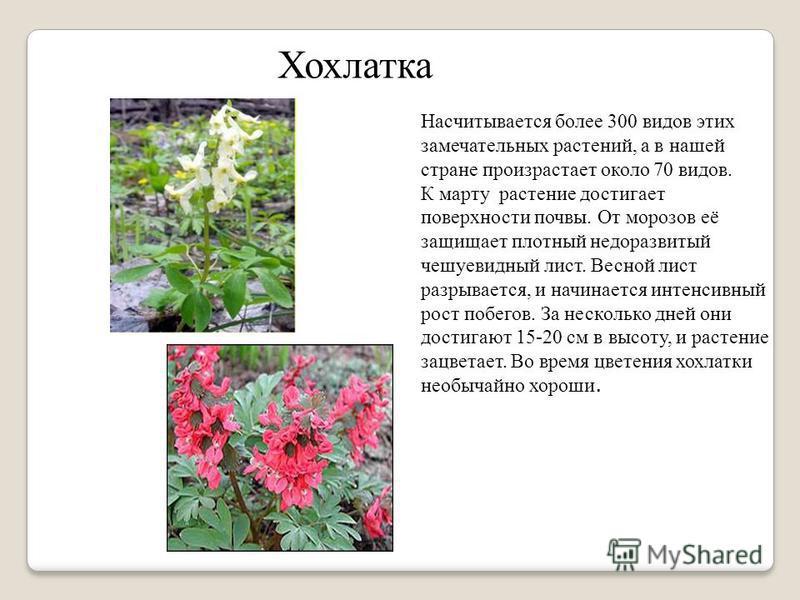Хохлатка Насчитывается более 300 видов этих замечательных растений, а в нашей стране произрастает около 70 видов. К марту растение достигает поверхности почвы. От морозов её защищает плотный недоразвитый чешуевидный лист. Весной лист разрывается, и н