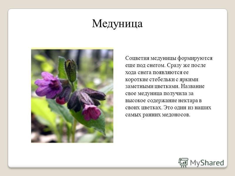 Медуница Соцветия медуницы формируются еще под снегом. Сразу же после хода снега появляются ее короткие стебельки с яркими заметными цветками. Название свое медуница получила за высокое содержание нектара в своих цветках. Это один из наших самых ранн