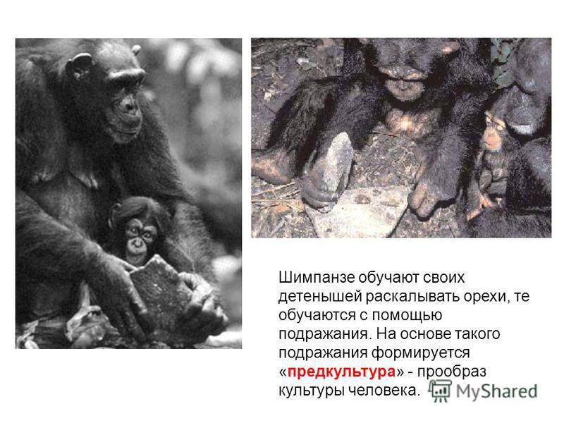 Шимпанзе обучают своих детенышей раскалывать орехи, те обучаются с помощью подражания. На основе такого подражания формируется «пред культура» - прообраз культуры человека.