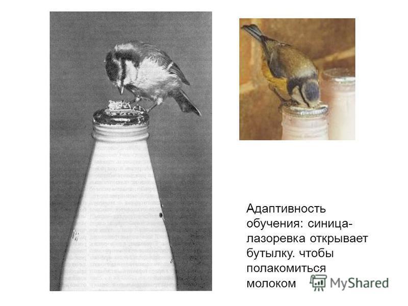 Адаптивность обучения: синица- лазоревка открывает бутылку. чтобы полакомиться молоком