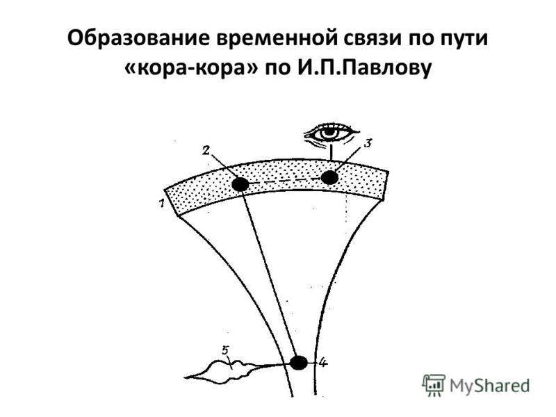 Образование временной связи по пути «кора-кора» по И.П.Павлову