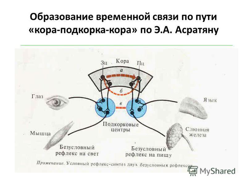 Образование временной связи по пути «кора-подкорка-кора» по Э.А. Асратяну