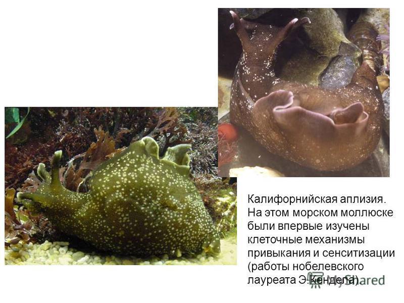 Калифорнийская аплазия. На этом морском моллюске были впервые изучены клеточные механизмы привыкания и сенситизации (работы нобелевского лауреата Э.Кендела).