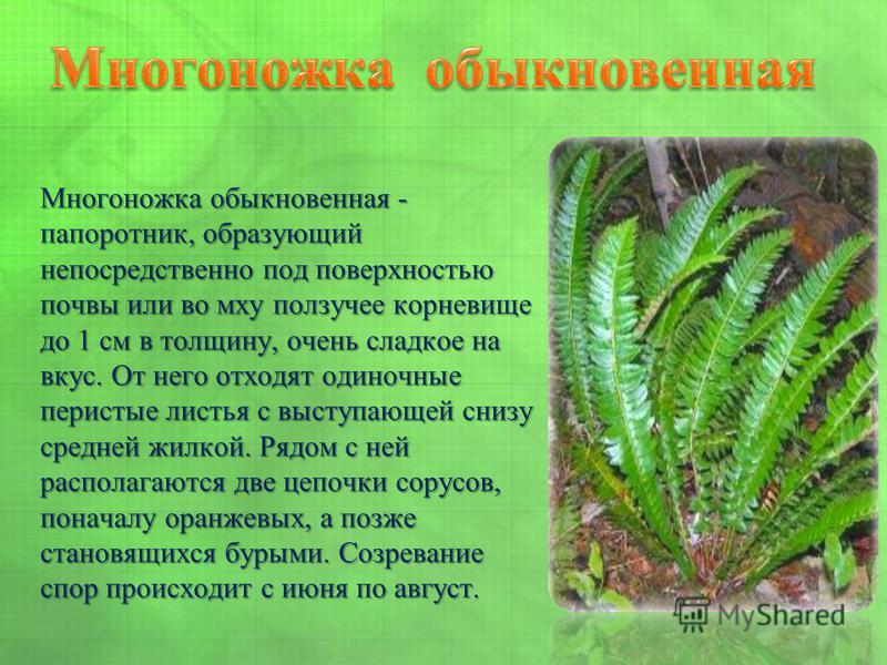 Многоножка обыкновенная - папоротник, образующий непосредственно под поверхностью почвы или во мху ползучее корневище до 1 см в толщину, очень сладкое на вкус. От него отходят одиночные перистые листья с выступающей снизу средней жилкой. Рядом с ней