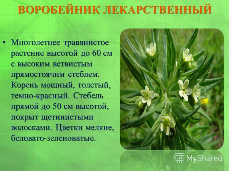ВОРОБЕЙНИК ЛЕКАРСТВЕННЫЙ Многолетнее травянистое растение высотой до 60 см с высоким ветвистым прямостоячим стеблем. Корень мощный, толстый, темно-красный. Стебель прямой до 50 см высотой, покрыт щетинистыми волосками. Цветки мелкие, беловато-зеленов