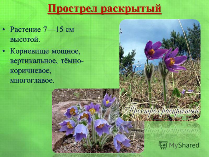 Прострел раскрытый Прострел раскрытый Растение 715 см высотой.Растение 715 см высотой. Корневище мощное, вертикальное, тёмно- коричневое, многоглавое.Корневище мощное, вертикальное, тёмно- коричневое, многоглавое.