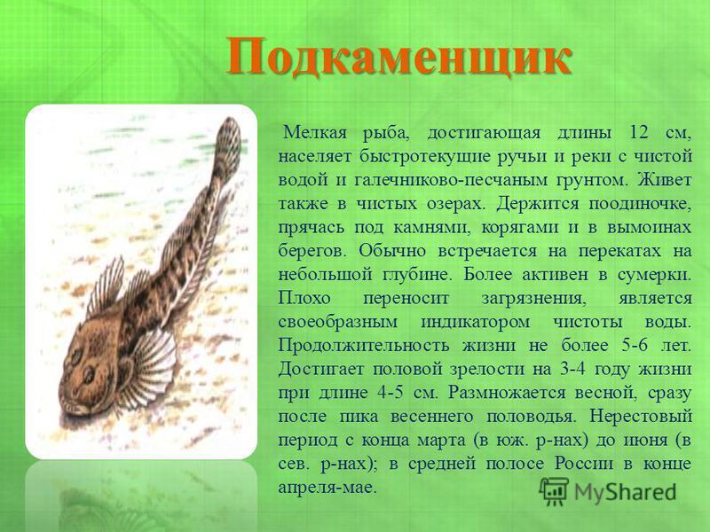 Подкаменщик Мелкая рыба, достигающая длины 12 см, населяет быстротекущие ручьи и реки с чистой водой и галечниково-песчаным грунтом. Живет также в чистых озерах. Держится поодиночке, прячась под камнями, корягами и в вымоинах берегов. Обычно встречае