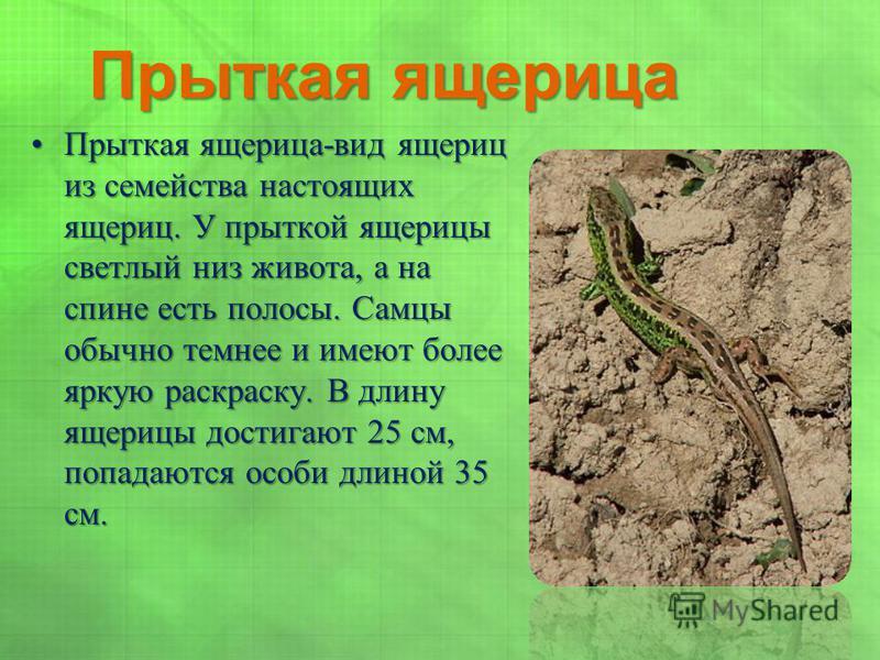 Прыткая ящерица Прыткая ящерица-вид ящериц из семейства настоящих ящериц. У прыткой ящерицы светлый низ живота, а на спине есть полосы. Самцы обычно темнее и имеют более яркую раскраску. В длину ящерицы достигают 25 см, попадаются особи длиной 35 см.