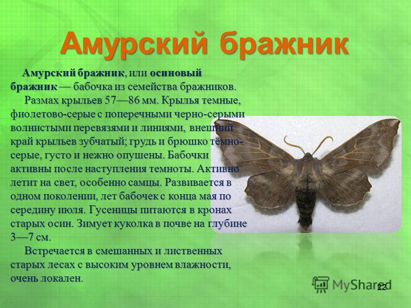 Амурский бражник, или осиновый бражник бабочка из семейства бражников. Амурский бражник, или осиновый бражник бабочка из семейства бражников. Размах крыльев 5786 мм. Крылья темные, фиолетово-серые с поперечными черно-серыми волнистыми перевязями и ли