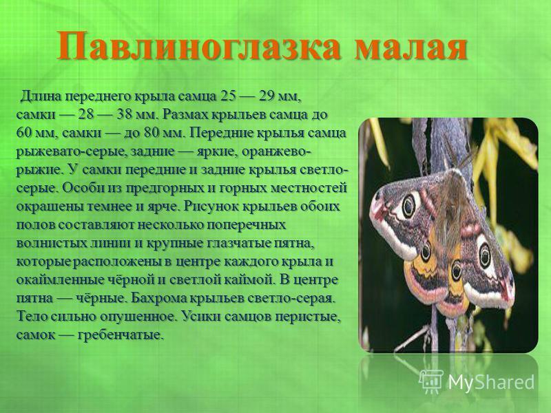 Павлиноглазка малая Длина переднего крыла самца 25 29 мм, самки 28 38 мм. Размах крыльев самца до 60 мм, самки до 80 мм. Передние крылья самца рыжевато-серые, задние яркие, оранжево- рыжие. У самки передние и задние крылья светло- серые. Особи из пре