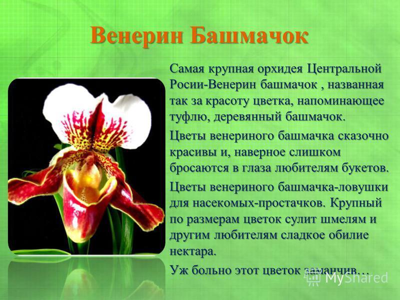 Венерин Башмачок Самая крупная орхидея Центральной Росии-Венерин башмачок, названная так за красоту цветка, напоминающее туфлю, деревянный башмачок. Цветы венериного башмачка сказочно красивы и, наверное слишком бросаются в глаза любителям букетов. Ц