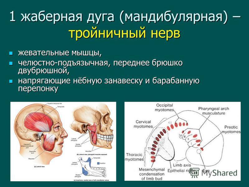 1 жаберная дуга (мандибулярная) – тройничный нерв жевательные мышцы, жевательные мышцы, челюстно-подъязычная, переднее брюшко двубрюшной, челюстно-подъязычная, переднее брюшко двубрюшной, напрягающие нёбную занавеску и барабанную перепонку напрягающи