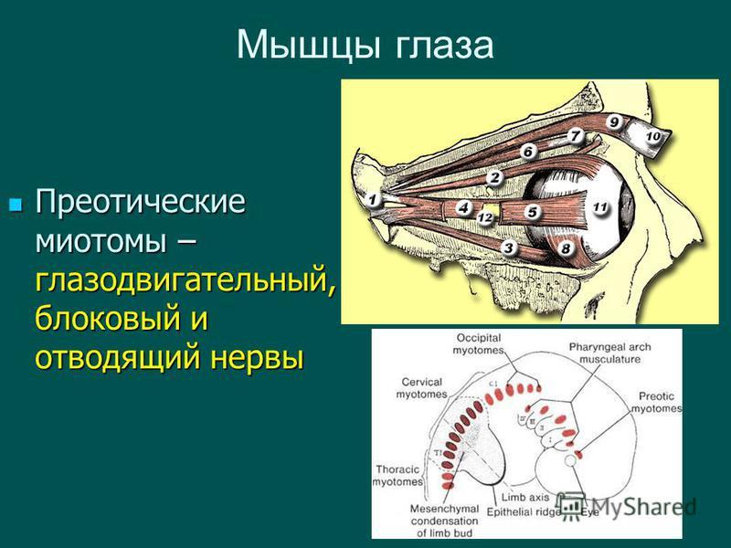 Мышцы глаза Преотические миотомы – глазодвигательный, блоковый и отводящий нервы Преотические миотомы – глазодвигательный, блоковый и отводящий нервы