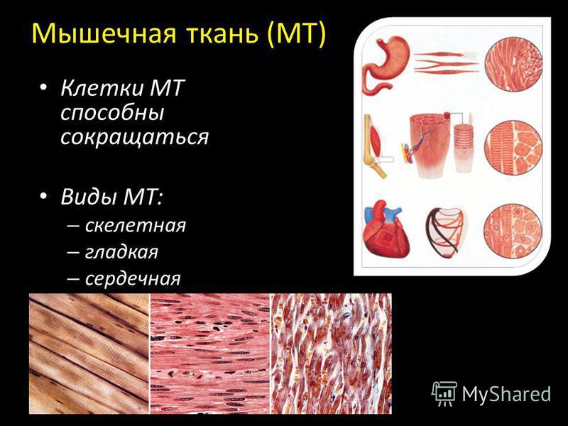 Mышечная ткань (МТ) Клетки МТ способны сокращаться Виды МТ: – скелетная – гладкая – сердечная