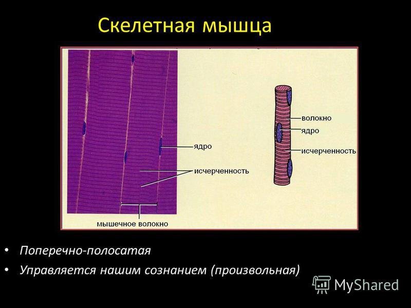 Скелетная мышца Поперечно-полосатая Управляется нашим сознанием (произвольная)