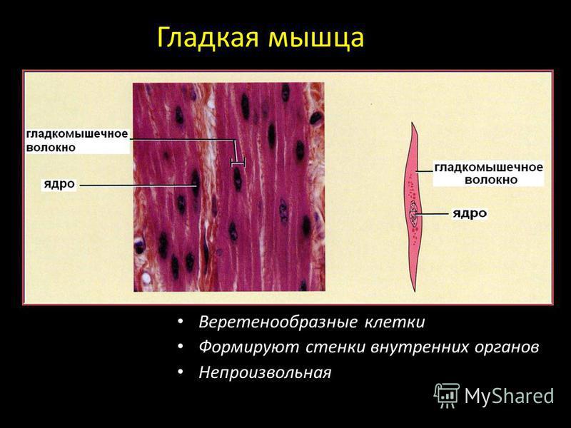 Гладкая мышца Веретенообразные клетки Формируют стенки внутренних органов Непроизвольная