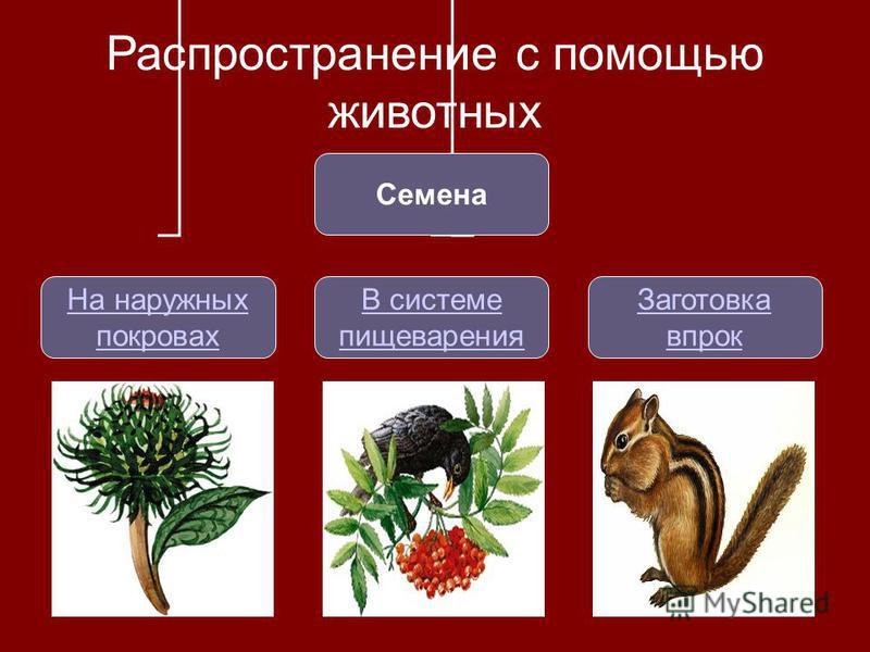 Распространение с помощью животных Семена На наружных покровах В системе пищеварения Заготовка впрок