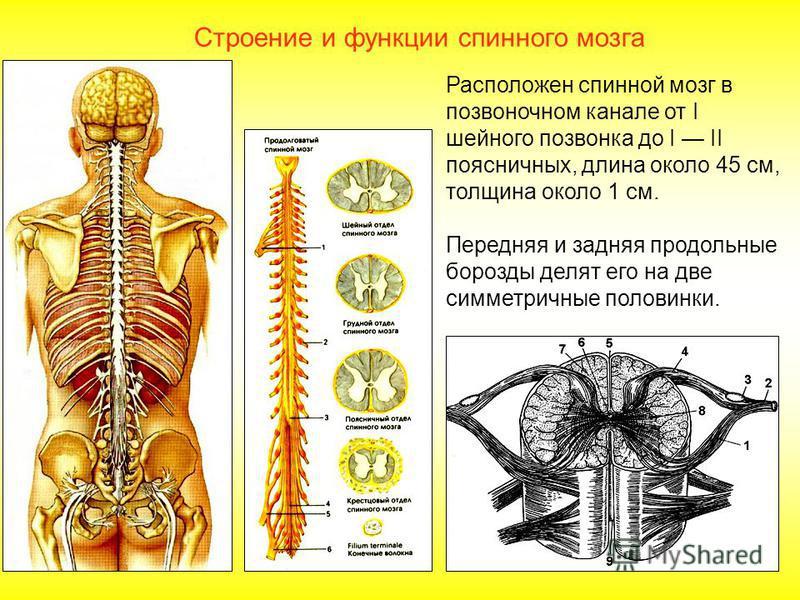 Строение нервной системы Функции. 1. Нервная система регулирует деятельность всех органов и систем органов; 2. Осуществляет связь с внешней средой с помощью органов чувств; 3. Является материальной основой для высшей нервной деятельности, мышления, п