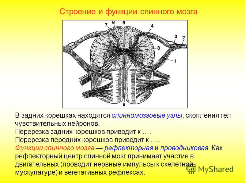 Строение и функции спинного мозга Спинной мозг покрыт тремя оболочками: снаружи соединительно- тканная плотная, затем паутинная и под ней сосудистая. От спинного мозга отходят 31 пара смешанных спинномозговых нервов. Каждый нерв начинается двумя коре
