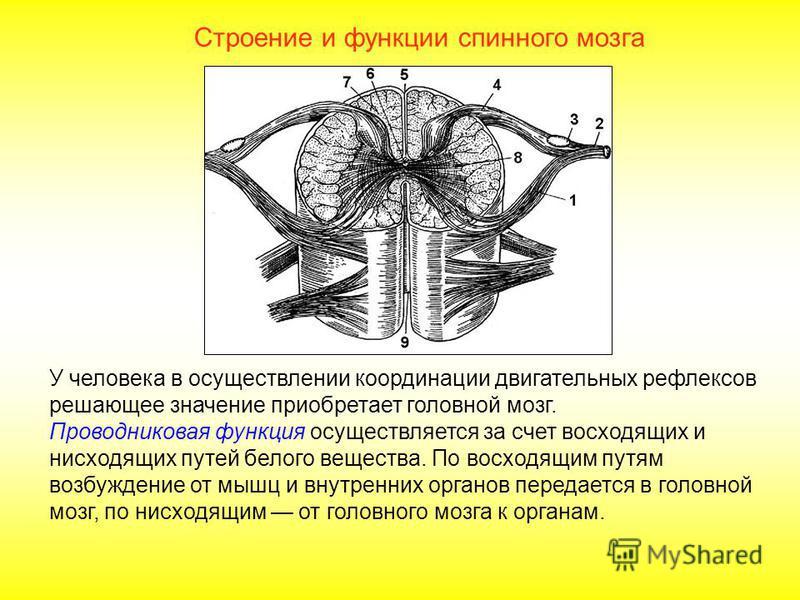 Строение и функции спинного мозга Важнейшие вегетативные рефлексы спинного мозга сосудодвигательные, пищевые, дыхательные, дефекации, мочеиспускания, половые. Рефлекторная функция спинного мозга находится под контролем головного мозга. Рефлекторные ф