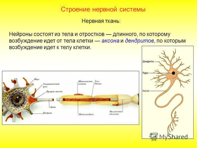 Тема: «Нервная система» Задачи: изучить строение и функции НС – спинного мозга, головного мозга, автономной нервной системы