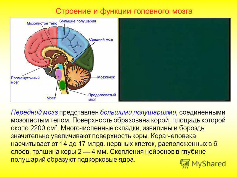 Строение и функции головного мозга Здесь находятся центры аппетита, жажды, сна, терморегуляции, т.е. осуществляется регуляция всех видов обмена веществ. Нейроны гипоталамуса вырабатывают нейрогормоны, осуществляющие регуляцию работы эндокринной систе