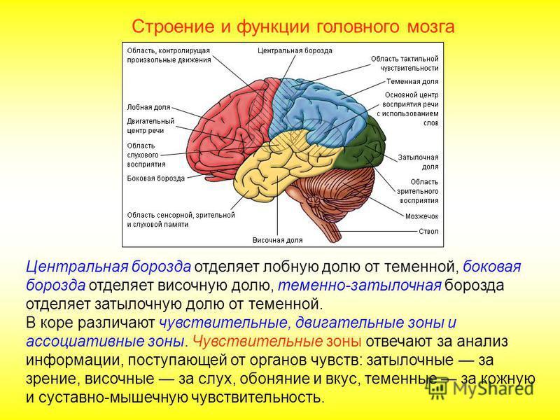 Строение и функции головного мозга Передний мозг представлен большими полушариями, соединенными мозолистым телом. Поверхность образована корой, площадь которой около 2200 см 2. Многочисленные складки, извилины и борозды значительно увеличивают поверх