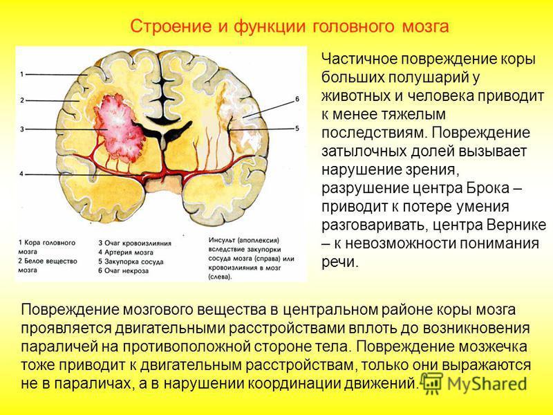 Повреждение отдельных участков мозга приводит к нарушению различных функций. Это объясняется гибелью нейронов, входящих в состав нервного центра, который регулирует данную функцию, а также повреждением нервных волокон, осуществляющих связь между нерв