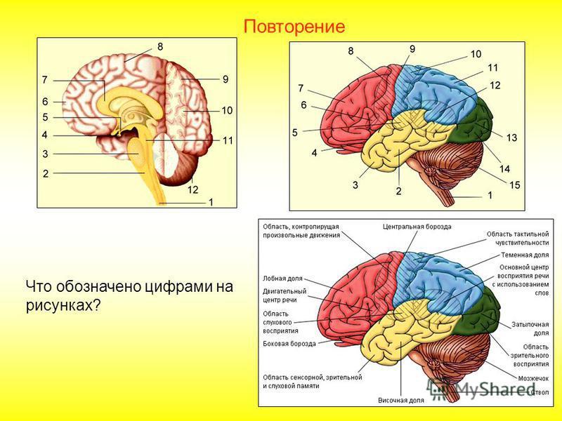 Благодаря сильному развитию больших полушарий, средняя масса мозга человека в среднем 1400 г. Но способности зависят не только от массы, но и от организации мозга. Анатоль Франс, например, имел массу мозга 1017 г, Тургенев 2012 г.