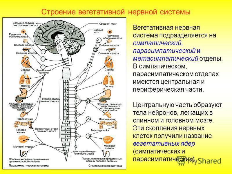 Строение вегетативной нервной системы Часть периферической нервной системы, которая участвует в проведении чувствительных влияний и направляет команды к скелетным мышцам, называется соматической нервной системой. Другая группа нейронов контролирует д