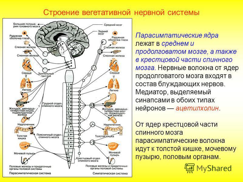 Строение вегетативной нервной системы Симпатические ядра расположены в спинном мозге, в боковых рогах. Отходящие от него нервные волокна заканчиваются за пределами спинного мозга в симпатических узлах. Предузловые нейроны находятся в боковых рогах гр