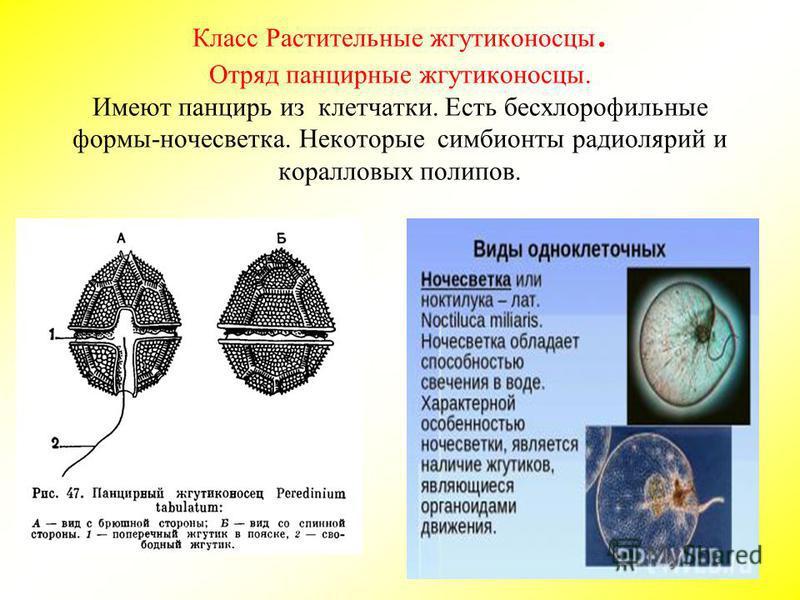 Класс Растительные жгутиконосцы. Отряд панцирные жгутиконосцы. Имеют панцирь из клетчатки. Есть бесхлорофильные формы-ночесветка. Некоторые симбионты радиолярий и коралловых полипов.