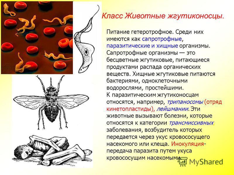 Класс Животные жгутиконосцы. Питание гетеротрофное. Среди них имеются как сапротрофные, паразитические и хищные организмы. Сапротрофные организмы это бесцветные жгутиковые, питающиеся продуктами распада органических веществ. Хищные жгутиковые питаютс