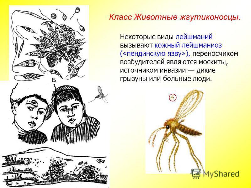 Некоторые виды лейшманий вызывают кожный лейшманиоз («пендинскую язву»), переносчиком возбудителей являются москиты, источником инвазии дикие грызуны или больные люди. Класс Животные жгутиконосцы.