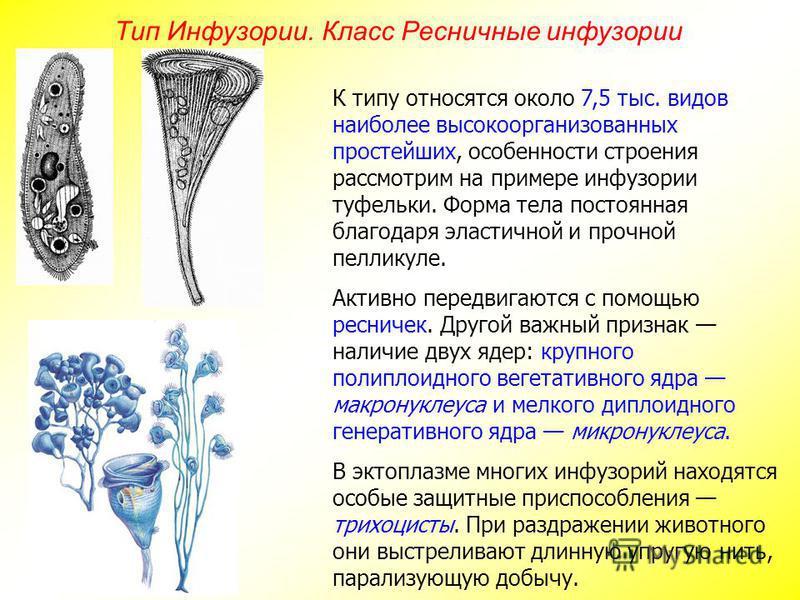 Тип Инфузории. Класс Ресничные инфузории К типу относятся около 7,5 тыс. видов наиболее высокоорганизованных простейших, особенности строения рассмотрим на примере инфузории туфельки. Форма тела постоянная благодаря эластичной и прочной пелликуле. Ак