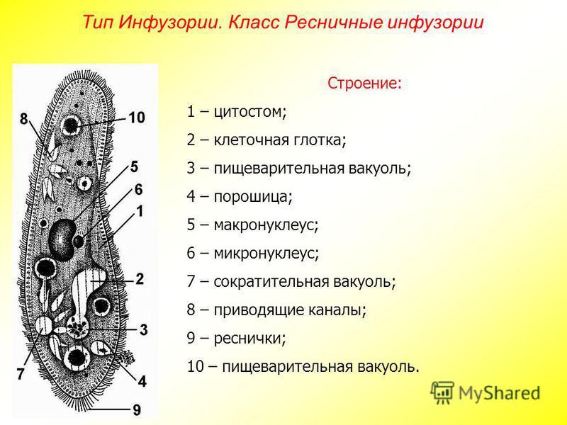 Строение: 1 – цитостом; 2 – клеточная глотка; 3 – пищеварительная вакуоль; 4 – порошица; 5 – макронуклеус; 6 – микронуклеус; 7 – сократительная вакуоль; 8 – приводящие каналы; 9 – реснички; 10 – пищеварительная вакуоль. Тип Инфузории. Класс Ресничные