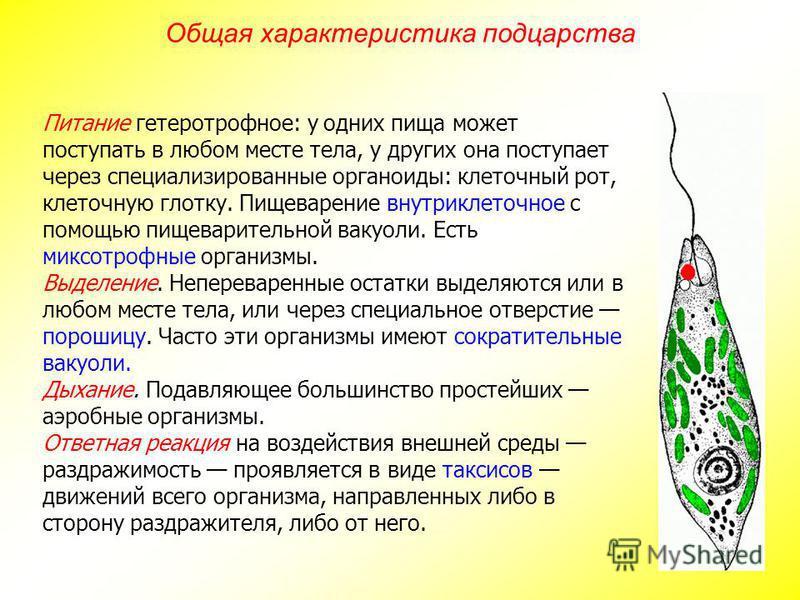 Питание гетеротрофное: у одних пища может поступать в любом месте тела, у других она поступает через специализированные органоиды: клеточный рот, клеточную глотку. Пищеварение внутриклеточное с помощью пищеварительной вакуоли. Есть миксотрофные орган