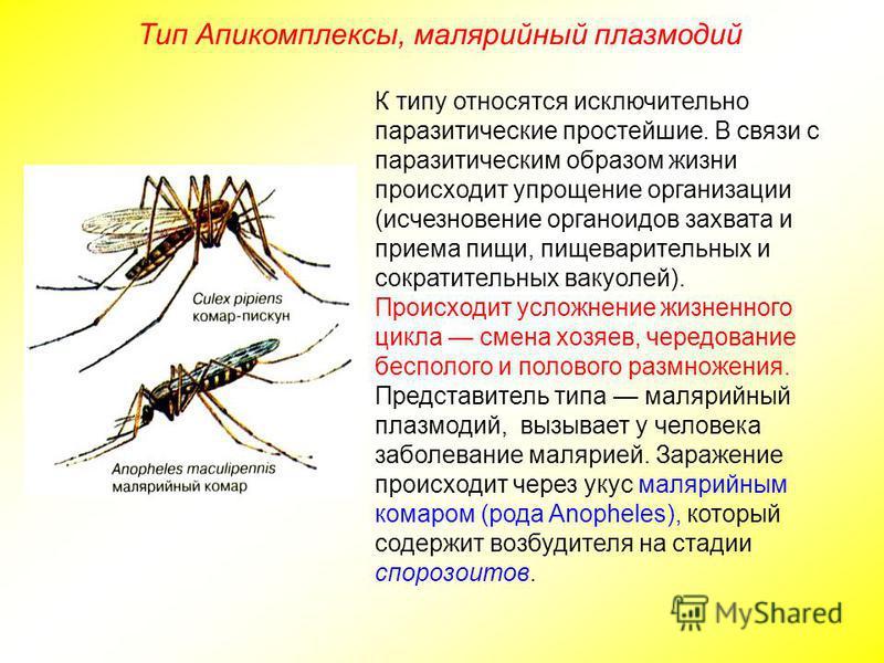 Тип Апикомплексы, малярийный плазмодий К типу относятся исключительно паразитические простейшие. В связи с паразитическим образом жизни происходит упрощение организации (исчезновение органоидов захвата и приема пищи, пищеварительных и сократительных
