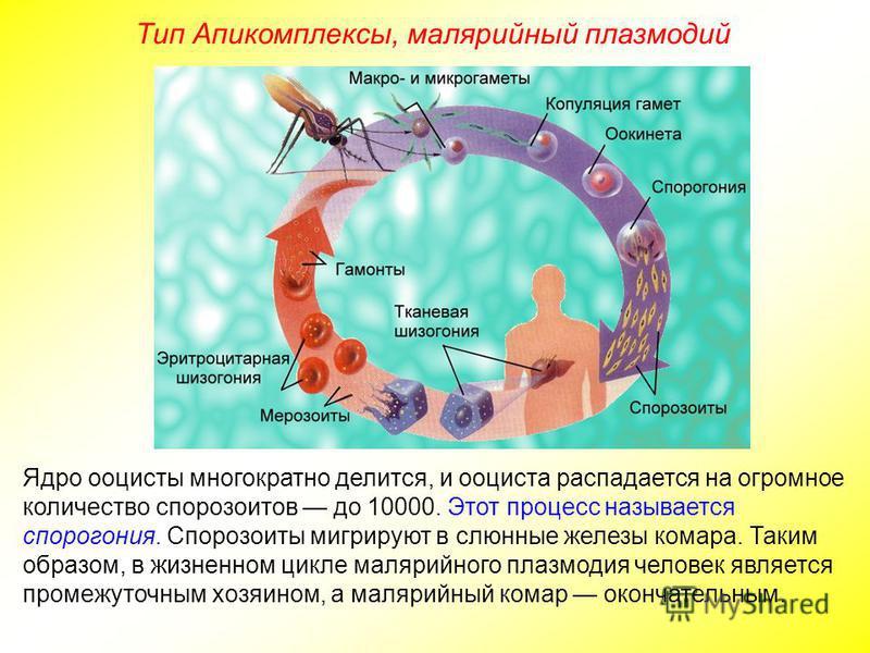 Тип Апикомплексы, малярийный плазмодий Ядро ооцисты многократно делится, и ооциста распадается на огромное количество спорозоитов до 10000. Этот процесс называется спорогония. Спорозоиты мигрируют в слюнные железы комара. Таким образом, в жизненном ц